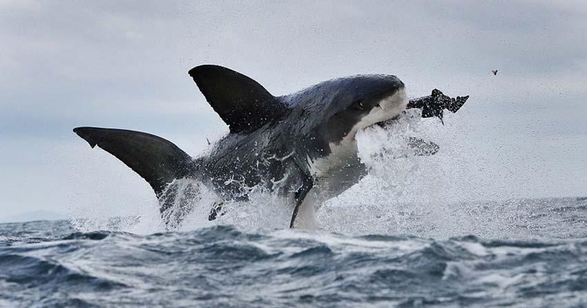 摄影师拍到大白鲨凌空捕食一刻,一颗牙齿因用力过猛被崩掉。 据外媒9日报道,近日一名摄影师在南非开普敦海域拍摄大白鲨时,捕捉到了鲨鱼跃起吞食海豹的画面,图片中的大白鲨还因用力过猛崩掉一颗牙齿。 41岁的摄影师詹金斯原本想拍摄的是大白鲨跃起捕食的画面,但却在事后查看图片时,发现了大白鲨飞起的尖锐牙齿。 詹金斯表示,为了捕捉野生动物的画面,此前他已经海上航行了好几周。他说大白鲨捕食这一幕发生十分突然,直到他事后放大了图片才发现了大白鲨被崩掉的牙齿。 詹金斯称,这是他第一次见到大白鲨捕食时被崩掉牙齿,而且他不认为